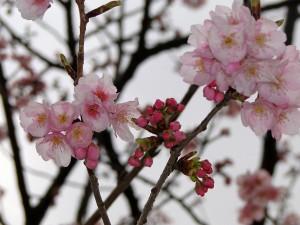ciresi in floare
