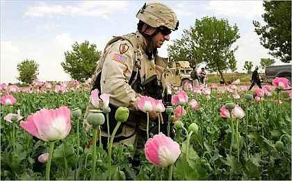campuri de mac afganistan