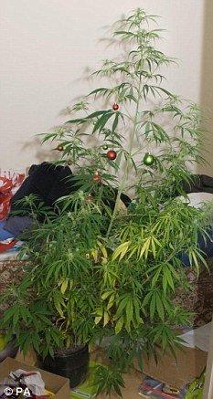 pom-craciun-cannabis